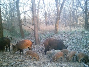 Wild hogs are on their way through again.